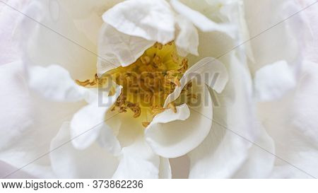 Closeup White Wild Rose Flower. Trendy Macro Bloom And Flowerscape Picture. Creative Horizontal Bann