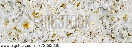 Live Wall With Many Tender White Wild Roses. Long Horizontal Banner. Top View Shot. Full Bloom Backg
