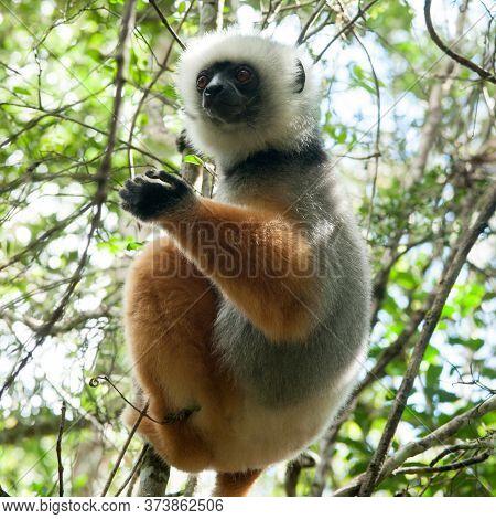 Lemurs, Verunda Game Preserve, Madgascar Island, Africa