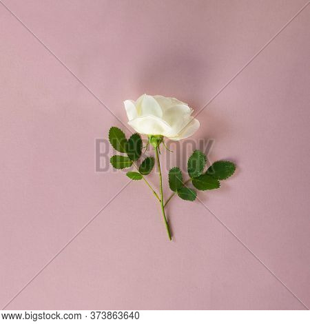 Fresh White Rose With Short Steam And Green Leaves On Pastel Pink Background. Square Retro Flower Ba
