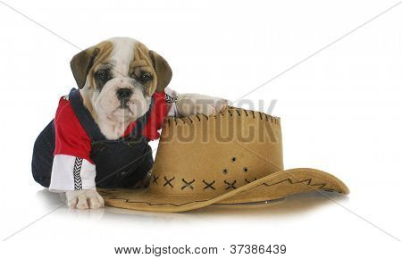 country dog - english bulldog puppy dressed up in jeans sitting beside western hat on white background poster