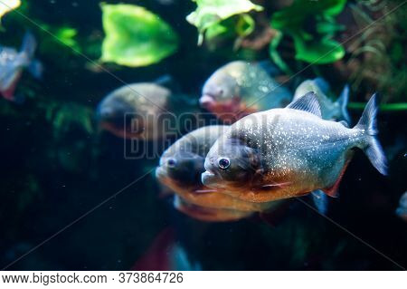 Group Of Red-bellied Piranhas Are Swimming, Bright, Stock Photo Fish In Natural Conditions