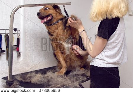 Cute Big Dog Sits On The Table And Grooming Master Cuts And Shaves, Cares For A Dog. Grooming Animal