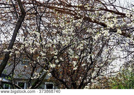 A Stanley Prune Plum Tree (prunus Domestica Insititia) Blooms In The Back Yard Of A Home In Joliet,