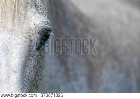 Eye Of A Grey Horse, Lit By The Sun. Focus On The Eyelashes. Animal On Farm