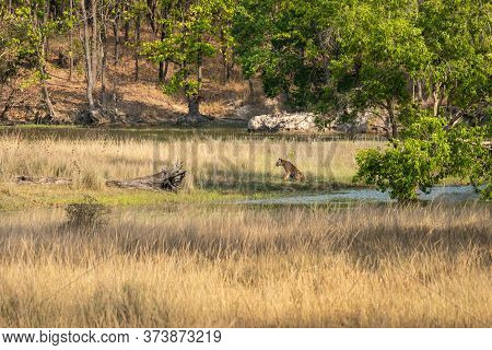 Wild Male Tiger In Serene Landscape Of Bandhavgarh National Park Or Tiger Reserve Madhya Pradesh Ind
