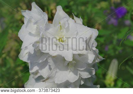 Delphinium Moonlight. Growing Larkspur Flowers