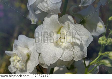 Delphinium White Flowers Growth In Garden