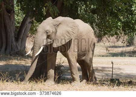 Elephant Walking In The Nyamepi Campsite In Mana Pools National Park Zimbabwe