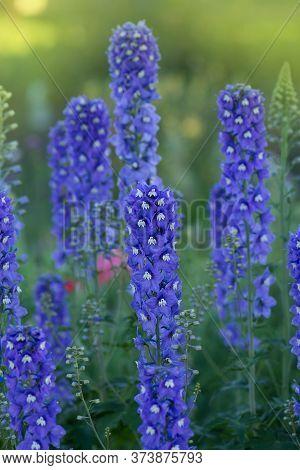 Delphinium Blue Low Mixture