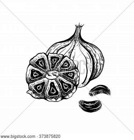 Illustration Of Black Fermented Garlic With Hatching. Product For Health And Longevity. Useful Seaso