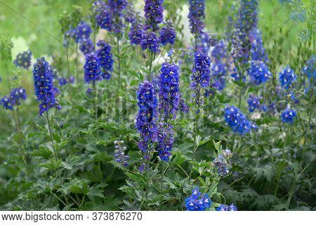 Delphinium Blue Delphiniums Lincolnshire Flowering Plant.