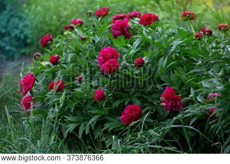 Red Peonies In The Garden. Red Peony Macro Photo. Burgundy Peony Flower