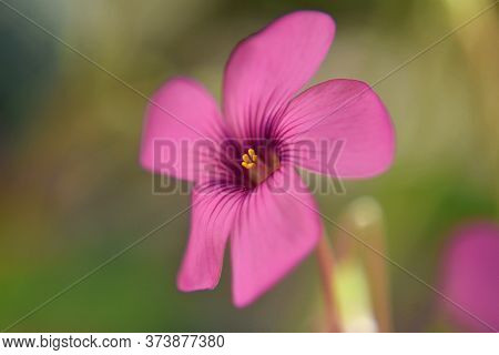 Closeup Of Beautiful Pink Flower In The Garden/ Spring Awakening/ Welcome Spring/ Blossoming Spring