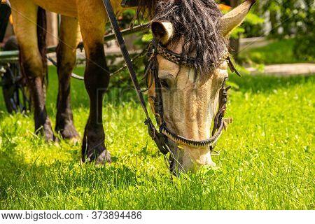 A Brown Horse Harnessed To A Harness, Nibbles On Green Grass