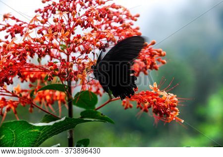 Beautiful Tropical Red Flower Pagoda-flower (clerodendrum Paniculatum) With A Black Butterfly Great