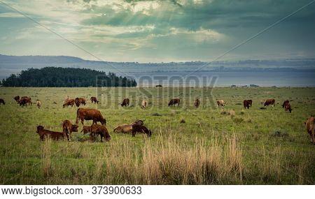 a heard on cattle feeding on the farmland
