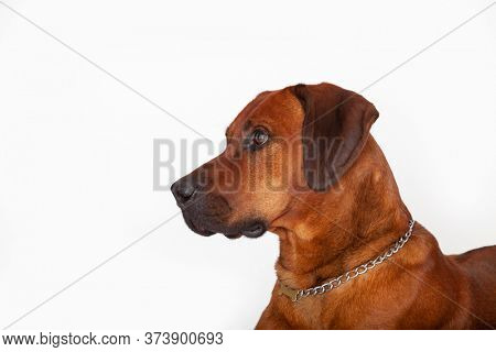 Rhodesian ridgeback also called lion hound is a pedigree from the oldern Rhodesia today Zimbabwe and Zambia, specially breed to hunt lions.