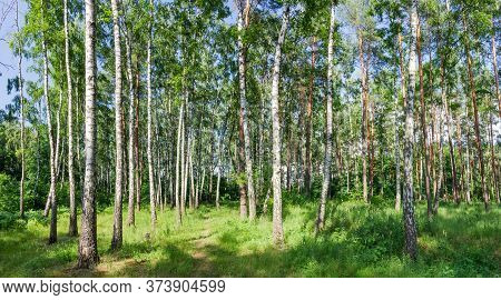 Fragment Of The Plain Broadleaf And Coniferous Mixed Forest With Birches And Pines In Summer Day