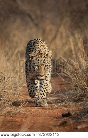 Adult Male Leopard Walking On A Red Dirt Road Amongst Tall Dry Grass In Kruger Park South Africa