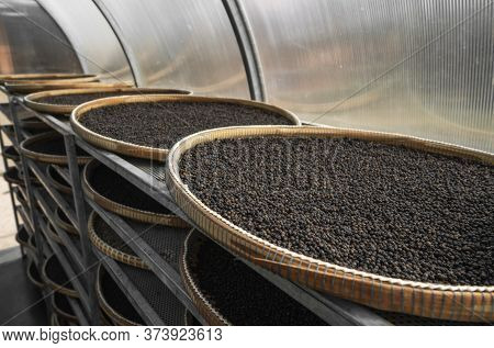 Black Peppercorns Drying In Drying Room Or Box On Plates Of Reed On Black Pepper Plantation. Drying