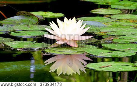 White Lotus Is Reflected In The Calm Water Of A Pond Surrounded By Large Green Leaves