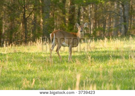 Doe In Field