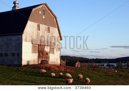 Sheep Grazing, Maine