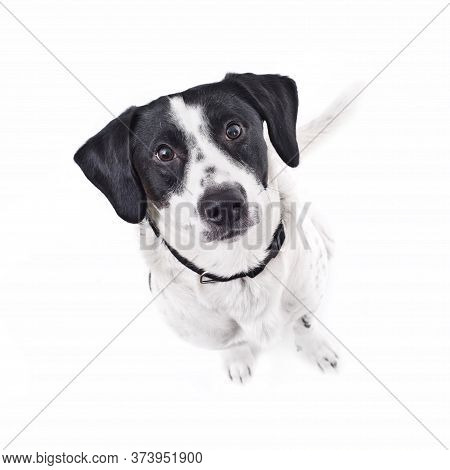 Beautiful Small Dog Sniffing Curiously Looks Straight Into The Camera. The Concept Of True Faithful