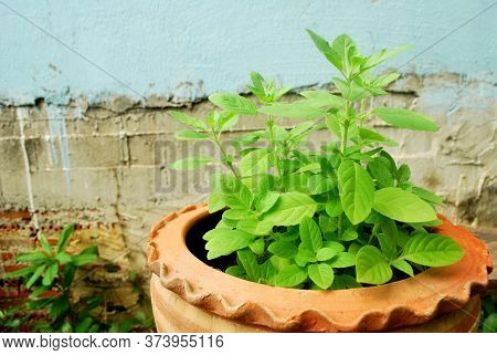 Thai Basil Planted For Eating, Non-toxic.holy Basil Behind The House.