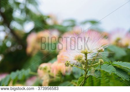 Blooming Flower Of Albizia Julibrissin, The Persian Silk Tree Or Pink Silk Tree, Mimosa Or Acacia, C