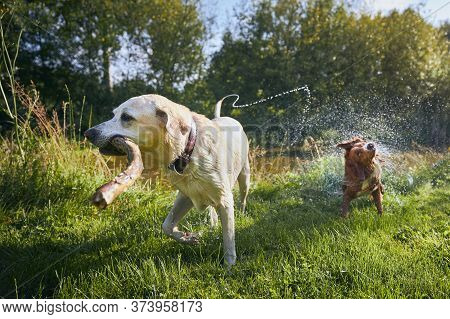 Two Playful Dogs In Nature. Labrador Retriever And Nova Scotia Duck Tolling Retriever On Riverside A
