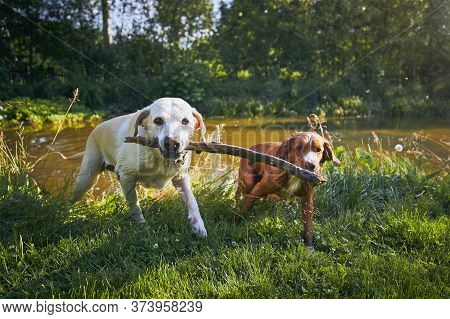 Two Dogs In Nature. Labrador Retriever And Nova Scotia Duck Tolling Retriever Playing With Stick On
