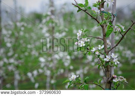 Farm Field With Fruit Trees, Close Up. Tree Tied To Struts On Blooming Garden Blurred Background