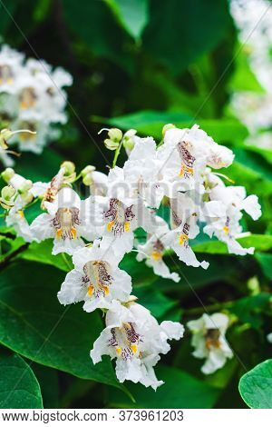 White Catalpa Flowers On A Tree In A Garden Close-up
