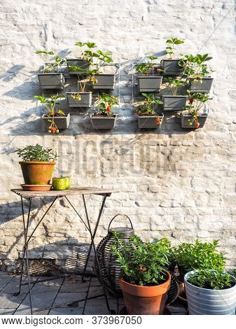 Rows Of Strawberry Plants With Ripe And Unripe Berries In A Vertical Garden Hanging On A Wall In A S