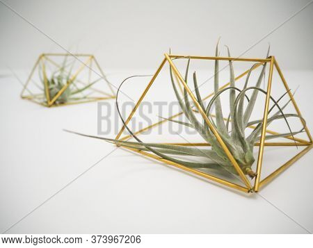 Bottom View On A Tillandsia Pohliana And Tillandsia Gardnerii Air Plant In A Golden Holder On A Whit