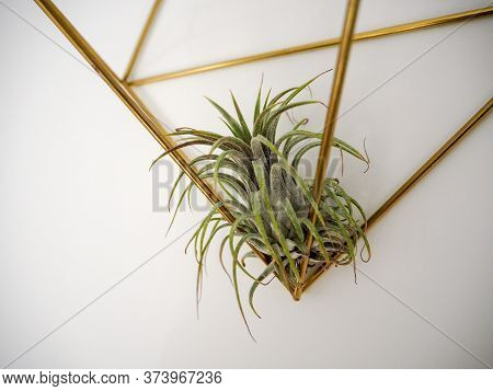 Tillandsia Ionantha In A Golden Frame On A White Wall
