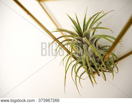 Trendy Tillandsia Ionantha In A Golden Frame On A White Wall