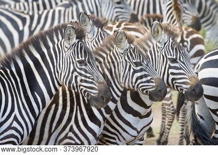 Portrait Of Three Plains Zebra (equus Burchellii) In Herd, Serengeti National Park, Tanzania.