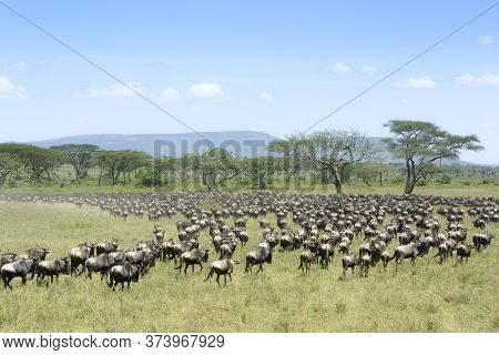 Herd Of Blue Wildebeest ( Connochaetus Taurinus) Seen From Behind, During Migration, Serengeti Natio
