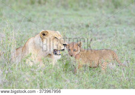Lioness (panthera Leo) With Cub On Savannah, Serengeti National Park, Tanzania.