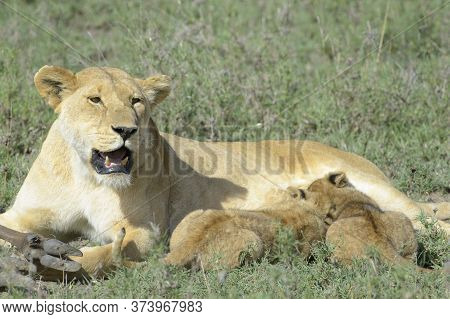 Lion Cubs (panthera Leo) Drinking From Mother On The Savanna, Serengeti National Park, Tanzania.