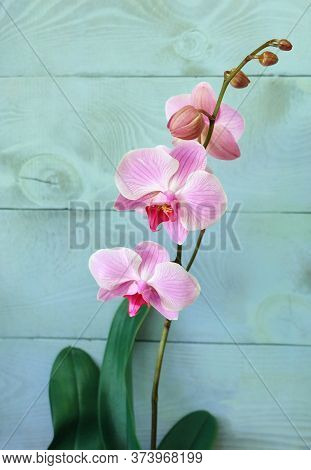 Orchid Phalaenopsis, Variety Reflection. Beautiful Pink Orchid With Stripes On The Petals On A Blue