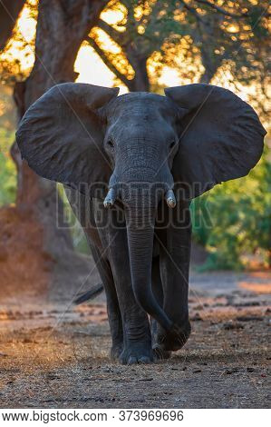 Close Encouter With An Elephant Bull Walking In Mana Pools National Park In Zimbabwe