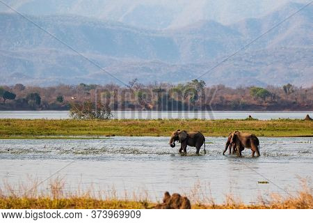Elephant Bulls Walking In The Zambezi River In Mana Pools National Park In Zimbabwe With The Mountai
