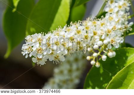 A Prunus Padus, Known As Bird Cherry, Hackberry, Hagberry, Or Mayday Tree Closeup Shot