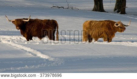 Two Highland Cows In A Snowy Field