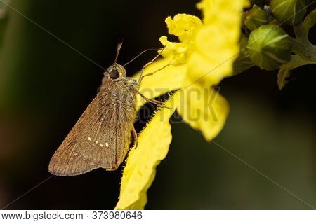 Macro Of Small Branded Swift Butterfly Or Pelopidas Mathias Or Lesser Millet Skipper Collecting Hone