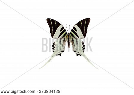 Black And White Graphium Androcles Swordtail Swallowtail  Indonesia Butterfly In The Family Papilion